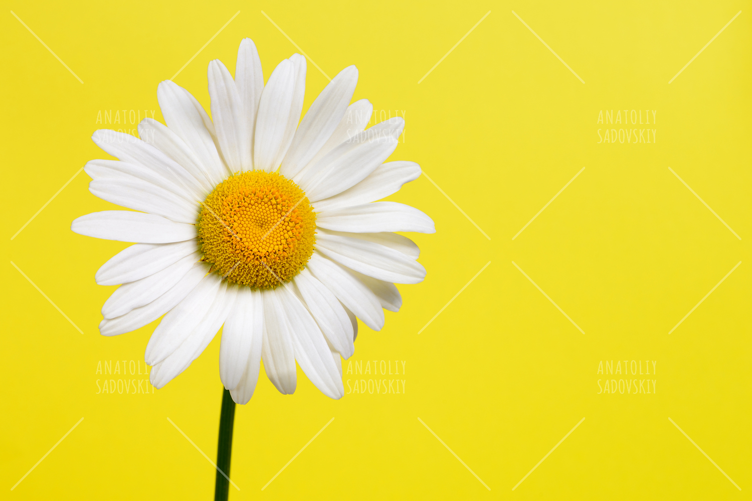 Daisy flower on yellow background by wi design bundles daisy flower on yellow background example image 1 mightylinksfo