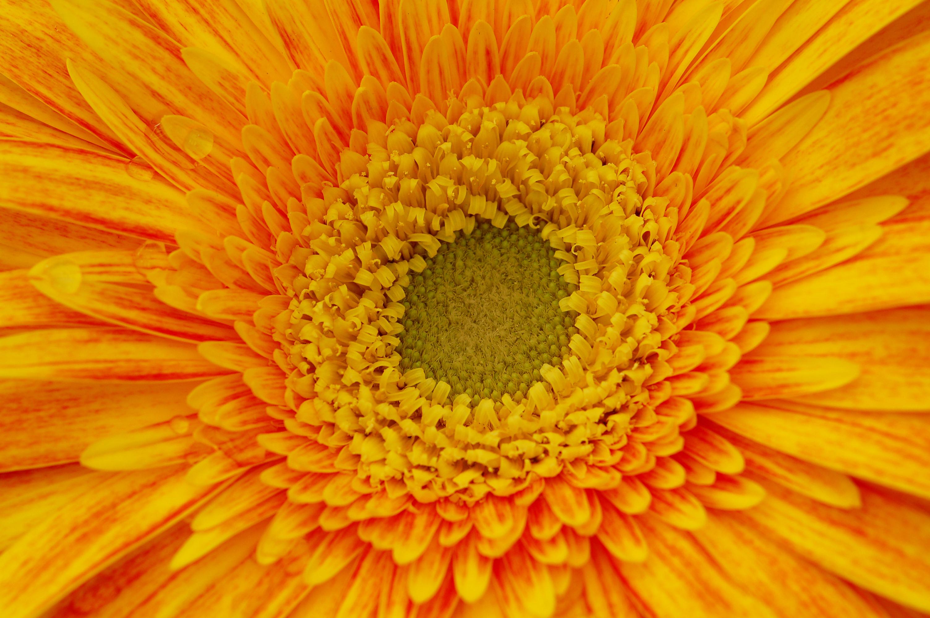Yellow and orange gerbera daisy flower design bundles yellow and orange gerbera daisy flower nature background example image 5 izmirmasajfo