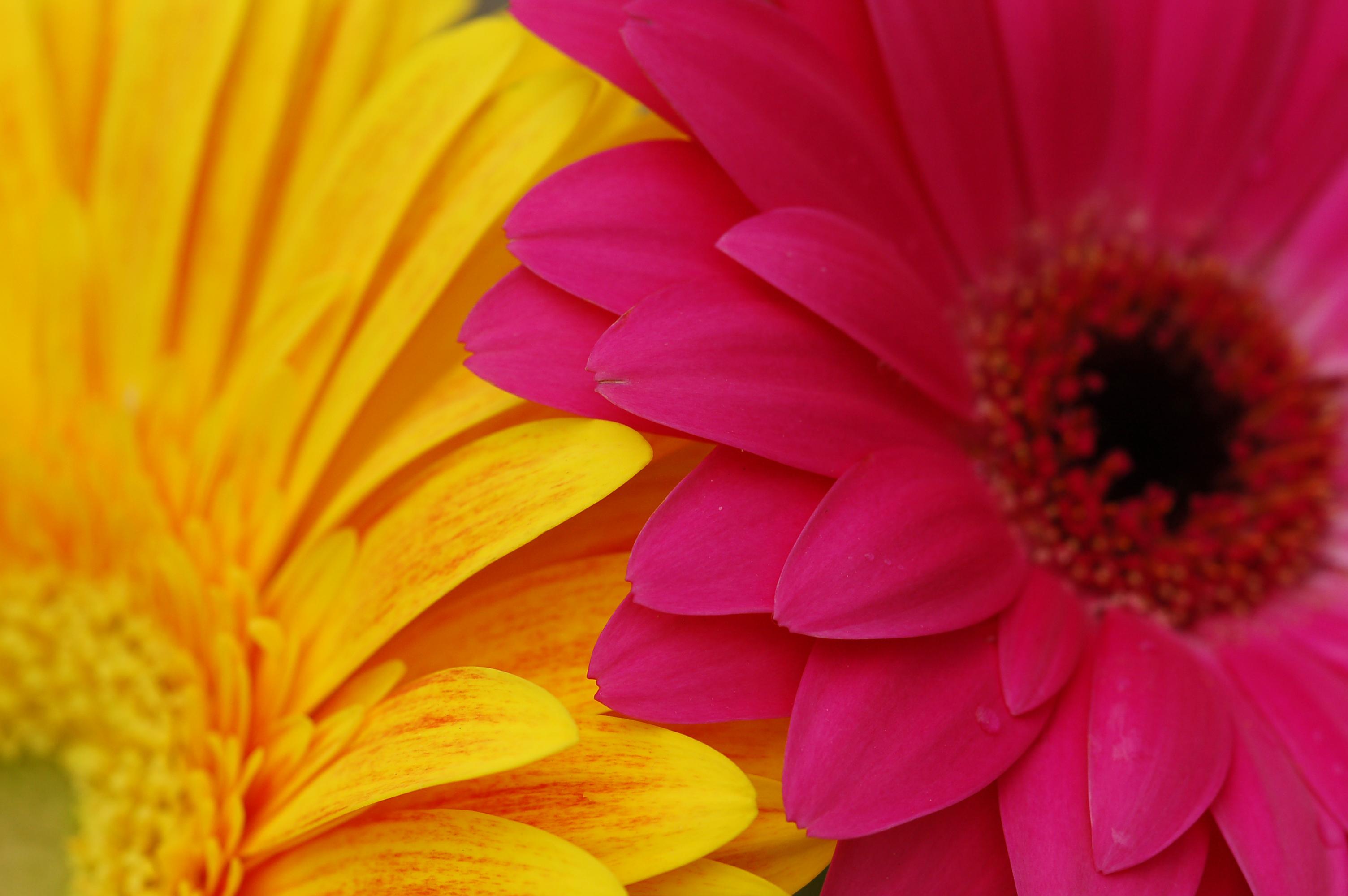 Bright Yellow And Pink Daisy Petals Nat Design Bundles