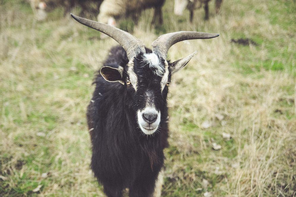 Black goat example image