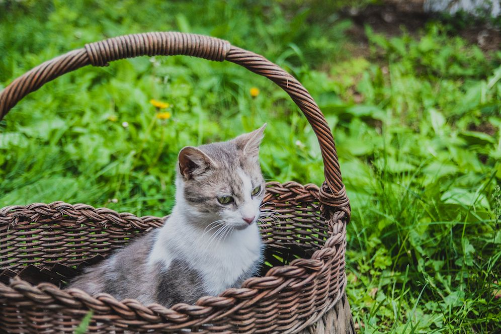 Sweet cat in wicker basket on green grass outdoors example image