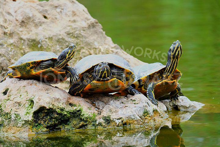 Three Turtles On The Rock Island