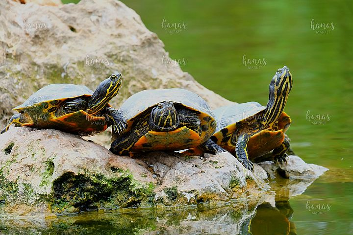 Three Turtles On The Rock Island