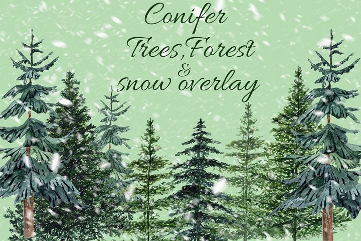 Conifers trees clipart