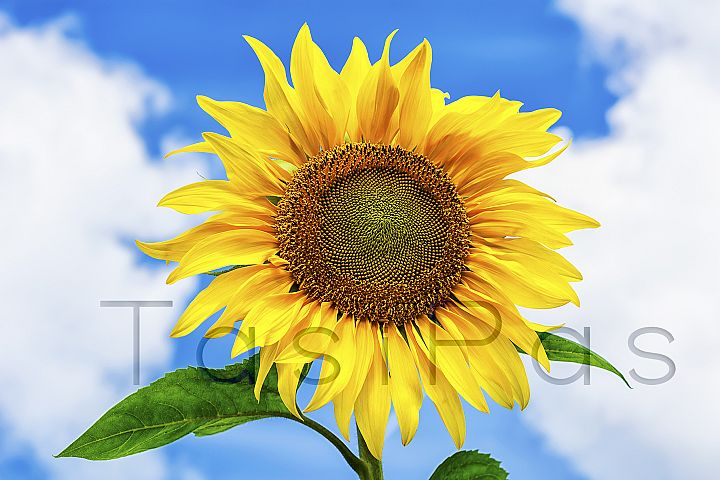 Healthy eating concept with sunflower over blue sky